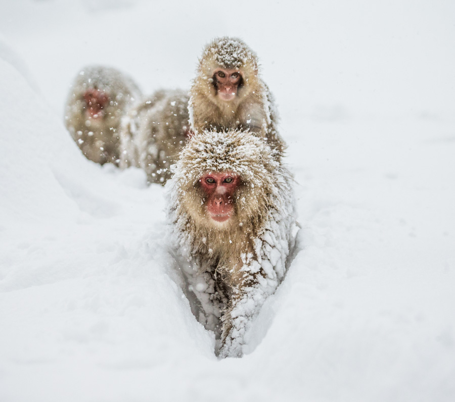 Japan packing list - snow monkeys
