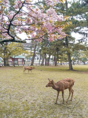 Nara itinerary - deer