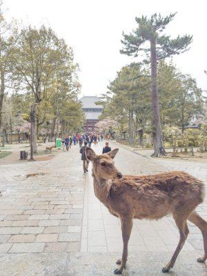 Nara itinerary - deer2