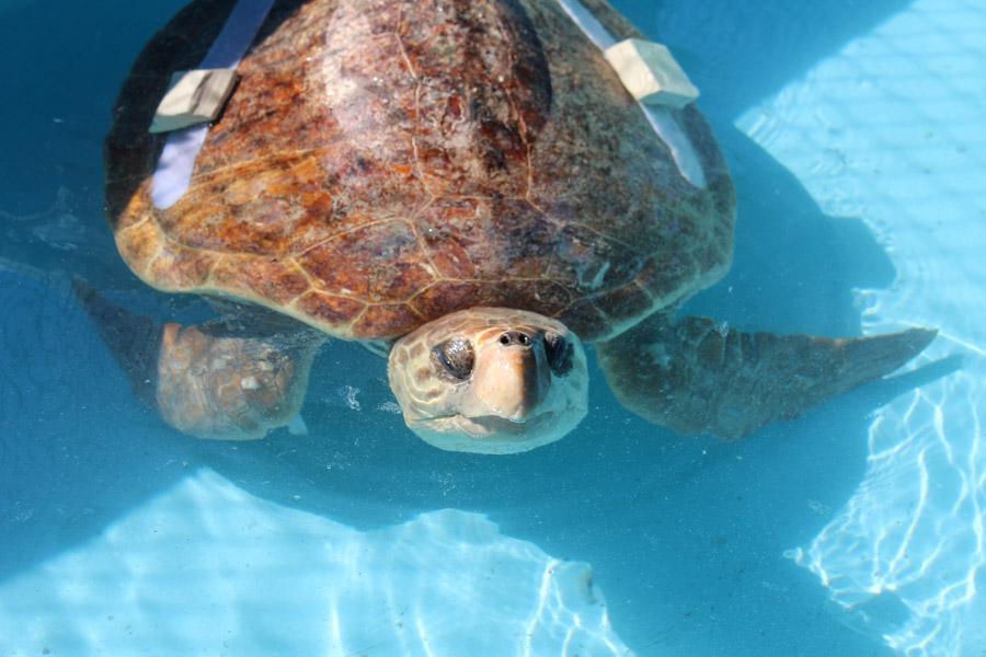 Turtle Hopsital, Marathon